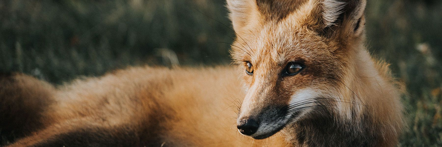 Environmentally friendly pest prevention for wildlife like foxes